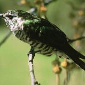 Shining cuckoo. Adult. Ngongotaha, Rotorua. Image © Department of Conservation (image ref: 10029519) by John Kendrick, Department of Conservation Courtesy of Department of Conservation