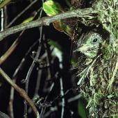 Shining cuckoo. Chick in Chatham Island warbler nest. Rangatira Island, Chatham Islands, January 1982. Image © Department of Conservation (image ref: 10031231) by Dave Crouchley, Department of Conservation Courtesy of Department of Conservation