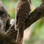 Long-tailed cuckoo. Adult. Kapiti Island, February 2009. Image © Duncan Watson by Duncan Watson