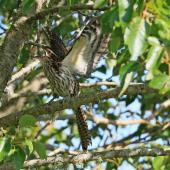 Long-tailed cuckoo. Adult alarm calling. Waitahinga Trails, Whanganui, January 2020. Image © Duncan Watson by Duncan Watson