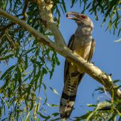 Channel-billed cuckoo. Adult. Pallarenda, Queensland, November 2012. Image © James Niland by James Niland via Flickr, 2.0 Generic (CC BY 2.0)