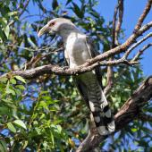 Channel-billed cuckoo. Adult. Burrum Heads, Queensland, February 2012. Image © Belinda Rafton 2012 birdlifephotography.org.au by Belinda Rafton
