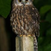 Morepork. Adult perched on post. Maud Island, February 2007. Image © David Boyle by David Boyle