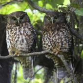 Morepork. Adult pair roosting showing contrasting plumage. Blowhard Bush, December 2012. Image © Adam Clarke by Adam Clarke