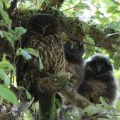 Morepork. Adult (left) roosting with two large chicks. Blowhard Bush, Hawke's Bay, December 2014. Image © Adam Clarke by Adam Clarke