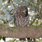Morepork. Curious adult. Mokai Station, Ruahine Forest Park, November 2010. Image © Mary Bielski by Mary Bielski www.irongates.co.nz