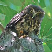 Morepork. Adult peering down from nest entrance. Lower Hutt, December 2007. Image © John Flux by John Flux