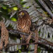 Morepork. Adult perched in treefern. Mayor Island, December 2007. Image © Peter Reese by Peter Reese
