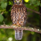 Morepork. Adult. Mayor Island, December 2007. Image © Peter Reese by Peter Reese