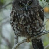 Morepork. Adult peering down. Kahurangi National Park, December 2010. Image © Corey Mosen by Corey Mosen www.coreymosen.co.nz