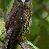 Morepork. Adult with head turned. Lake Rotorua, November 2012. Image © Glenda Rees by Glenda Rees Glenda Rees (http://www.flickr.com/photos/nzsamphotofanatic/)