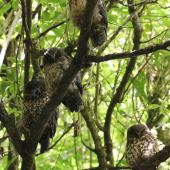 Morepork. Family group roosting. Blowhard Bush, January 2013. Image © Adam Clarke by Adam Clarke