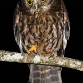 Morepork. Adult eating tree weta. Bushy Park Wanganui, December 2015. Image © John and Melody Anderson, Wayfarer International Ltd by John and Melody Anderson Love our Birds® | www.wayfarerimages.co.nz