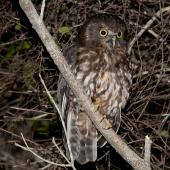 Morepork. Adult at night. Tiritiri Matangi Island, November 2012. Image © Philip Griffin by Philip Griffin Philip Griffin © 2012