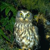 Morepork. Perched adult showing yellow feet. Whirinaki Forest, April 1990. Image © Albert Aanensen by Albert Aanensen