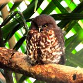 Morepork. Adult roosting. Tawharanui Regional Park, June 2010. Image © Cheryl Marriner by Cheryl Marriner http://www.glen.co.nz/cheryl