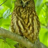 Morepork. Adult on tree during the day. Hope,  Nelson, April 2017. Image © Rebecca Bowater by Rebecca Bowater FPSNZ AFIAP www.floraandfauna.co.nz