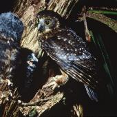Morepork. Adult and 2 chicks outside nest. Little Barrier Island. Image © Department of Conservation (image ref: 10028894) by Dick Veitch, Department of Conservation Courtesy of Department of Conservation