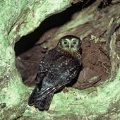 Morepork. Adult at nest entrance. Taranga / Hen Island, November 1978. Image © Department of Conservation (image ref: 10039806) by Dick Veitch, Department of Conservation Curtesy of Department of Conservation