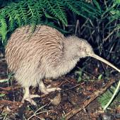 Southern brown kiwi. Adult Stewart Island brown kiwi. Mount Bruce Wildlife Centre, July 1978. Image © Department of Conservation ( image ref: 10035731 ) by John Kendrick, Department of Conservation   Courtesy of Department of Conservation