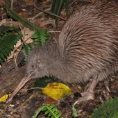 Southern brown kiwi. Adult Stewart Island brown kiwi feeding at midday. Lords River, Stewart Island, May 2012. Image © Paul Peychers by Paul Peychers Wildlife images