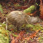 Southern brown kiwi. Adult Stewart Island brown kiwi. Stewart Island, March 2010. Image © Lisa Babcock by Lisa Babcock