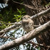 Little owl. Fledgling (approximately 40 days old) by the nest site. Coopers Creek, Oxford, North Canterbury, January 2015. Image © Victoria Caseley by Victoria Caseley Courtesy of Victoria Caseley victoria.caseley@gmail.com