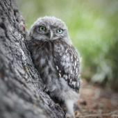 Little owl. Fledgling. Hagley Park, Christchurch, December 2010. Image © Diana Kennedy by Diana Kennedy