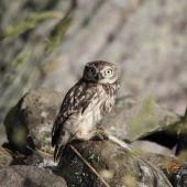 Little owl. Adult. Highcliff, Otago, January 2015. Image © Bruce McKinlay by Bruce McKinlay