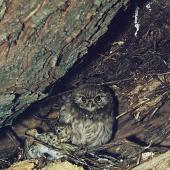 Little owl. Chick in nest cavity with dead song thrush. . Image © Department of Conservation (image ref: 10044271) by Mike Soper, Department of Conservation Courtesy of Department of Conservation