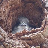 Laughing kookaburra. Juvenile in nesting hollow. Canberra, December 2017. Image © R.M. by R.M.