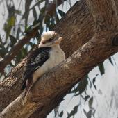 Laughing kookaburra. Juvenile. Pinnaroo Valley Memorial Park, Perth, Western Australia, July 2014. Image © Marie-Louise Myburgh by Marie-Louise Myburgh
