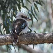 Laughing kookaburra. Juvenile. Pinnaroo Valley Memorial Park, Perth, Western Australia, July 2015. Image © Marie-Louise Myburgh by Marie-Louise Myburgh