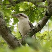 Laughing kookaburra. Adult with stick insect. Oratia, Waitakere, December 2017. Image © Les Feasey by Les Feasey