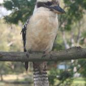 Laughing kookaburra. Adult, perching. Royal National Park, New South Wales,  Australia, September 2008. Image © Kyle Bland by Kyle Bland