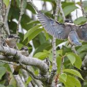 Sacred kingfisher. Juveniles practicing flight on their first day out of the nest. Mt Eden, February 2016. Image © Bruce Buckman by Bruce Buckman http://www.flickr.com/photos/brunonz/
