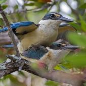 Sacred kingfisher. Pair mating. Mt Eden, Auckland, December 2015. Image © Bruce Buckman by Bruce Buckman http://www.flickr.com/photos/brunonz/