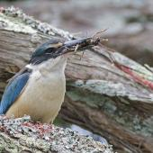 Sacred kingfisher. Adult male with Auckland tree weta. Mt Eden, December 2015. Image © Bruce Buckman by Bruce Buckman http://www.flickr.com/photos/brunonz/