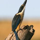 Sacred kingfisher. Immature bird alert to aerial threat. Wanganui, May 2008. Image © Ormond Torr by Ormond Torr