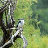 Sacred kingfisher. Juvenile. Ashley Estuary Canterbury, February 2011. Image © Peter Reese by Peter Reese