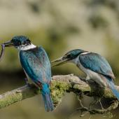Sacred kingfisher. Breeding pair with a young eel (male bird on left). It took both birds 6 minutes to dispatch it. Auckland, January 2015. Image © Bartek Wypych by Bartek Wypych