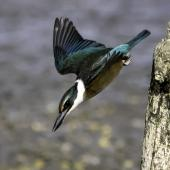 Sacred kingfisher. Immature diving from perch, seeking mud crabs. Pauatahanui Inlet, March 2015. Image © Toya Heatley by Toya Heatley http://www.digitalpix.co.nz