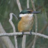 Sacred kingfisher. Perched adult. Hot Water Beach Coromandel. Image © Noel Knight by Noel Knight
