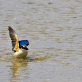 Sacred kingfisher. Adult taking off from shallow water. Tauranga, November 2011. Image © Raewyn Adams by Raewyn Adams