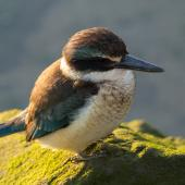 Sacred kingfisher. Immature. Waikanae Beach lagoon, August 2015. Image © Roger Smith by Roger Smith