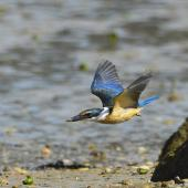 Sacred kingfisher. Immature in flight showing underwing. Bay of Islands, January 2013. Image © Brian Anderson by Brian Anderson Brian Anderson, BaPhotographic