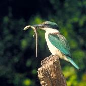 Sacred kingfisher. Adult holding common skink prey in bill. Ohau, Horowhenua. Image © Albert Aanensen by Albert Aanensen