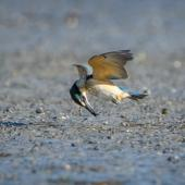 Sacred kingfisher. Immature plucking a crab from a mudflat in flight. Little Waihi estuary, August 2017. Image © Tony Whitehead by Tony Whitehead www.wildlight.co.nz