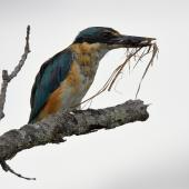 Sacred kingfisher. Immature with field cricket and a beakful of dead grass. Potts Rd, near Whitford, March 2016. Image © Marie-Louise Myburgh by Marie-Louise Myburgh