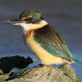 Sacred kingfisher. Immature at estuary observation perch. Wanganui, July 2012. Image © Ormond Torr by Ormond Torr